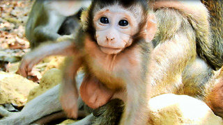 Cute Baby monkey Tito Has Big Sister Tara Protect  - Video