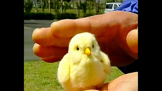Tiny Chick Robot - Video