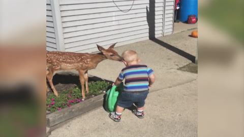 Tot Boy Befriends With A Fawn