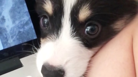 Corgi puppy demands attention from owner
