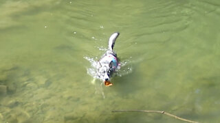 Husky Puppy Swims After Leaf!