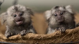 Cutest Marmoset Family Ever Loves to Play and Cuddle - Video