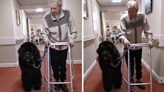 Gentle giant Newfoundland helps around the care home