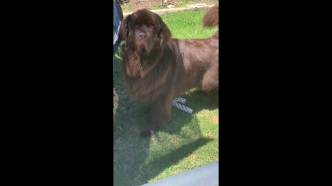 Newfoundland's owner refuses to play after he does this!