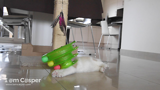 Ragdoll Kitten Binx playing with his favourite green toy  - Video