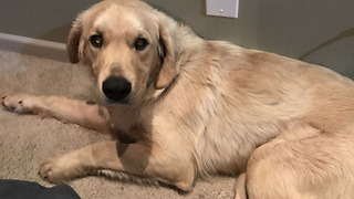 OP dog owners believe Golden Retriever was poisoned - Video