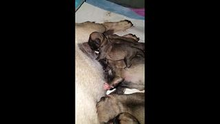 Newborn pug puppies having their dinner - Video