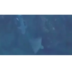 Aerial Footage Shows Close Encounter Between Shark and Stingray - Video