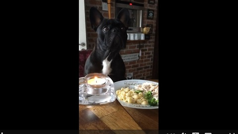 Clever French Bulldog not duped into eating broccoli