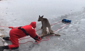 Deer Rescued From Middle of Frozen Lake in New York - Video