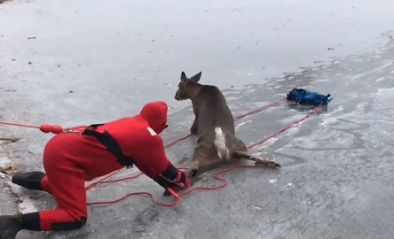 Deer Rescued From Middle of Frozen Lake in New York