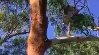 Rehabilitated Koala Surveys New Tree Before Release - Video
