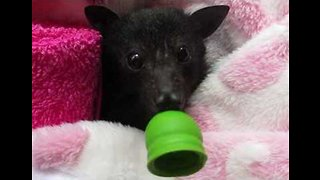 Wiggly Eared Wonder: Baby Bat Marigold on the Mend After Rescue