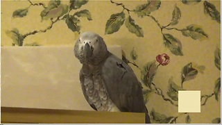Parrot With A Great Sense Of Humor Teases Owner In Hilarious Fashion - Video