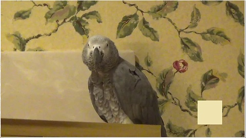 Parrot With A Great Sense Of Humor Teases Owner In Hilarious Fashion