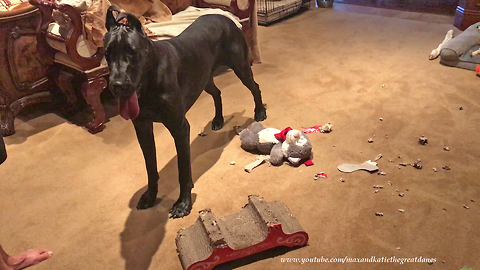 Great Dane decimates cat's scratch pad bed