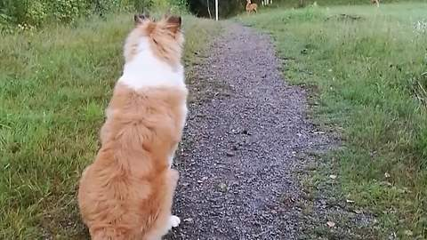 Puppy completely captivated by first ever deer sighting