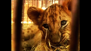 Bolivian Lion Cubs Head to US - Video