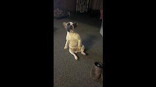 French Bulldog puppy's hilarious dance moves