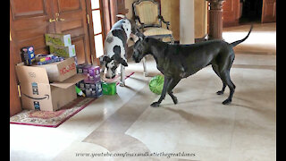 Great Danes really have fun unpacking these delivered groceries