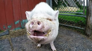 Rescued pigs beg for treats & love at this amazing sanctuary