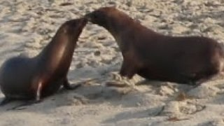 California Sea Lions Share Kiss During Release Back Into Ocean - Video