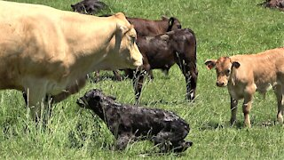 Newborn calf adorably struggles to stand on wobbly legs