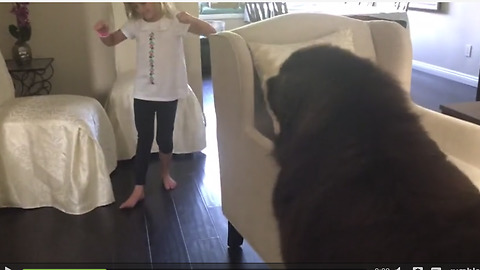 Newfoundland chasing his tail moves furniture with ease