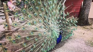 Impressive Peacock Displays Its Glorious Feathers - Video