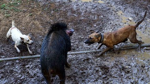 Inside the controversial dog versus boar death matches of Indonesia