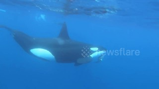 Killer whale toys with live sea turtle - Video