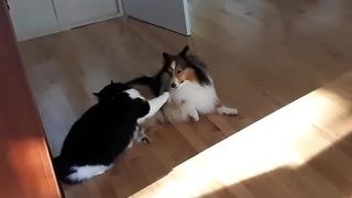 Epic high-energy play fight between dog & cat