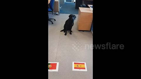 Ronaldo, look away now! Mollie the Labrador predicts outcome of Spain-Portugal