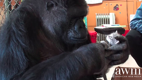 KoKo The Famous Gorilla Receives A Kitten For Her Birthday, Her Reaction Astounds The World