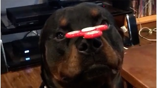 Rottweiler shows off sick fidget spinner skills - Video