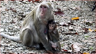 How Does Amara Breastfeed Chales Baby Monkey? Chales Follows Amara Quickly
