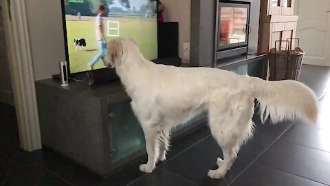 Golden Retriever wants to play with dog on TV