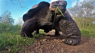 500 lbs Giant Galapagos Tortoise tramples GoPro