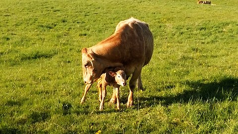 Mother Cow's Love For Her Newborn Baby Will Warm Your Heart