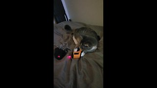 Izzy the cat learns how to use a laser