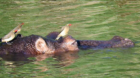 Birds land on Hippo's head to drink water