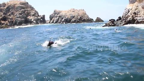 Playful seals chase tourists boat off Peru coast