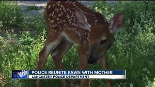 Lancaster Police rescue fawn hit by car - Video