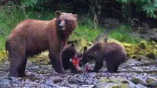 Brown Bear Family Shares Salmon Feast in Juneau, Alaska - Video