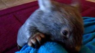 Active Little Wombat Plays Like a Puppy - Video