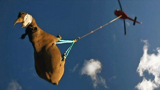 Black Rhino Is Airlifted By Helicopter To New Home - Video