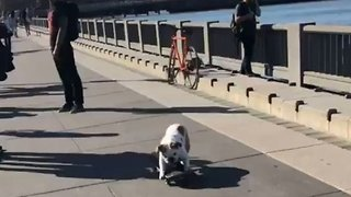 Dog Turns Into Thief to Get His Skateboard Kicks - Video