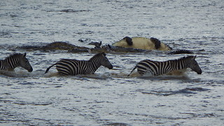 Crocodiles Brutally Ambush Zebras During Migration: SNAPPED IN THE WILD - Video
