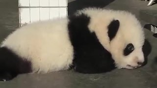 What sound does a baby panda make? - Video