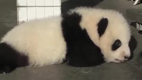 We Had No Idea Baby Pandas Made Such Cute Sounds